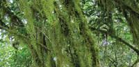Kaffa_trees